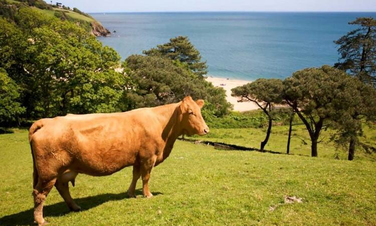 Cow overlooking beach